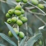 Oliven - Baum der Weisheit