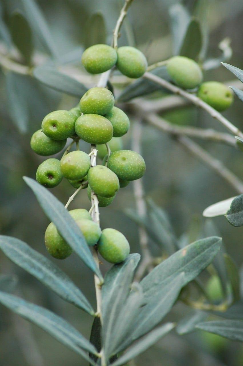 23.09. Olivenbaum: Baum der Weisheit
