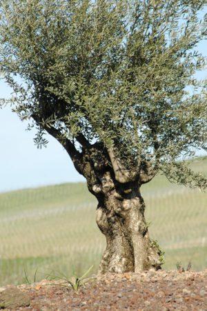 23 09 Olivenbaum Baum Der Weisheit Lebensbaum Geburtstag Taufe