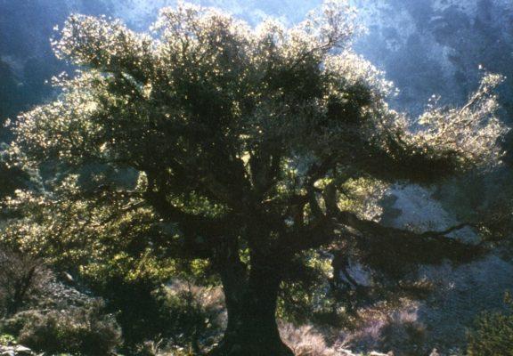 Olivenbaum - Baum der Weisheit