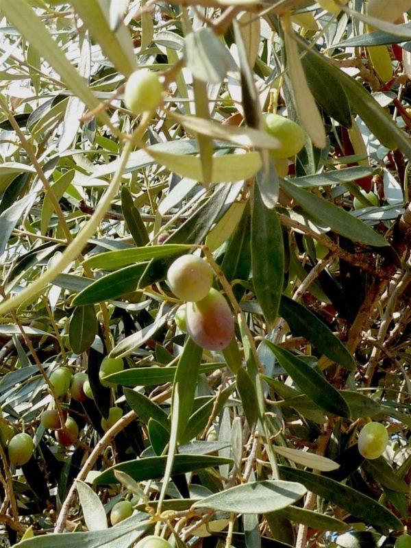 Olivenbaum mit Früchten - Baum der Weisheit