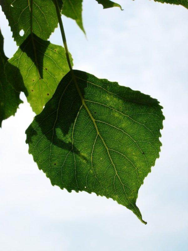 Pappel Blätter - Baum der Selbsterkenntnis