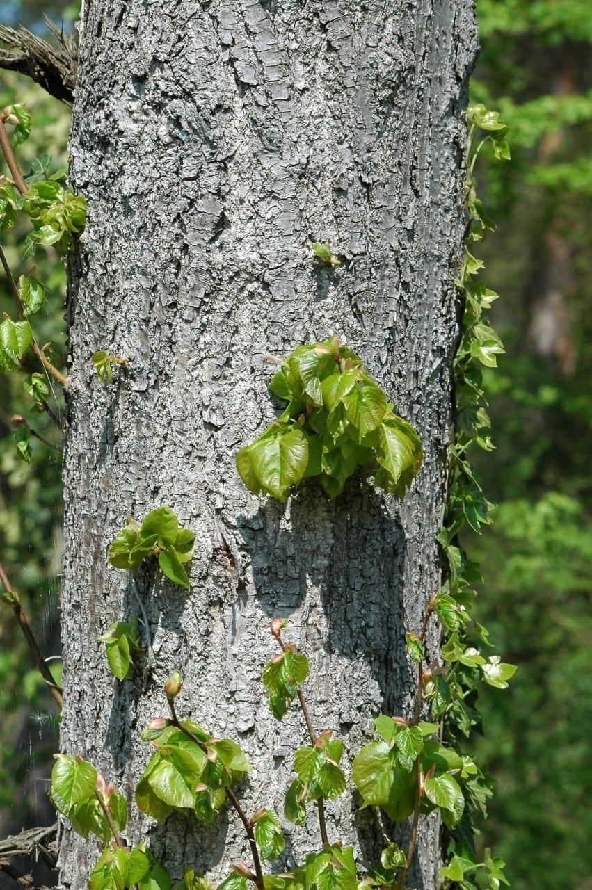 05.08.-13.08. Pappel: Hochzeitsbaum der Selbsterkenntnis