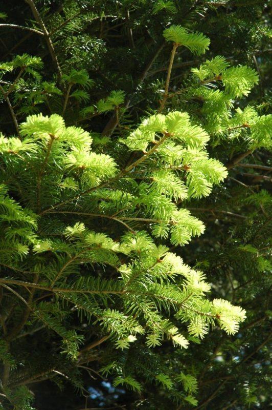Tanne Nadeln - Baum der Weitsicht