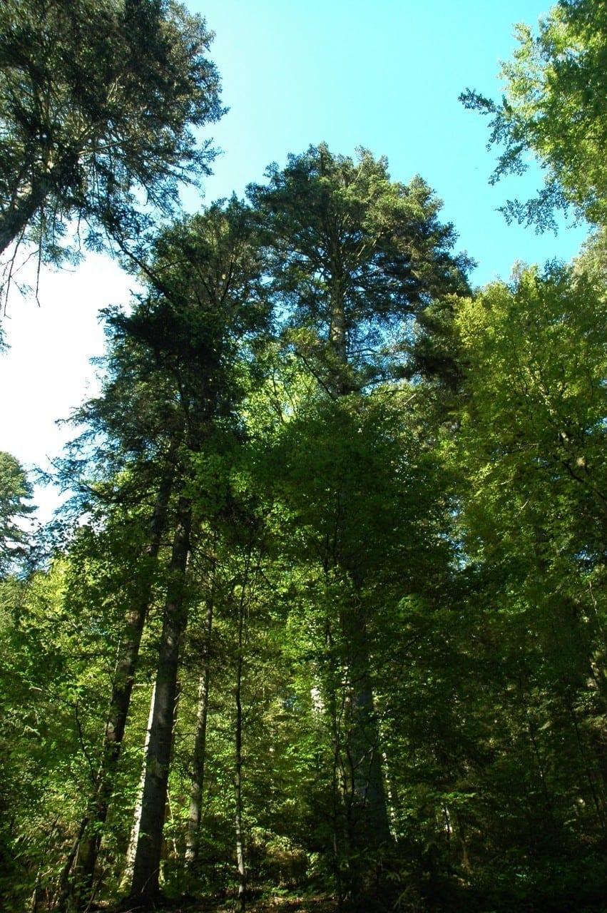 05.07.-14.07. Tanne: Hochzeitsbaum der Weitsicht