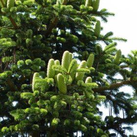 Tanne Zapfen - Baum der Weitsicht