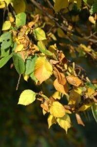 Blätter der Ulme - Baum des Erwachens