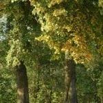 Ulme - Baum des Erwachens