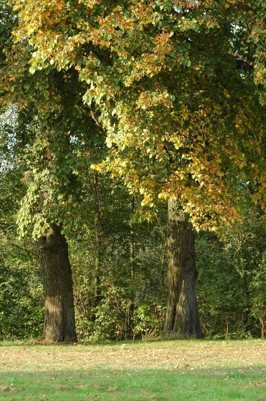 15.07.-25.07. Ulme: Baum des Erwachens