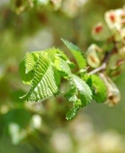 Ulme Blüten - Baum des Erwachens