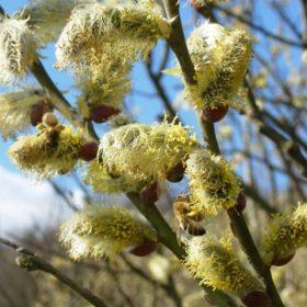 Weide Blüten - Baum der Vitalität