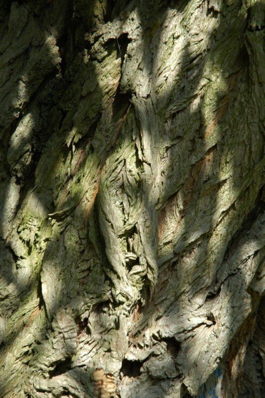 Weide Rinde - Baum der Vitalität