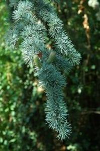 Zeder Nadeln und Blüten Zapfen - Baum des Mysteriums