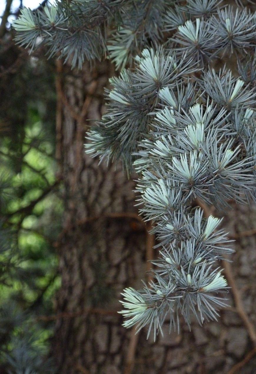 14.08.-23.08. Zeder: Hochzeitsbaum des Mysteriums