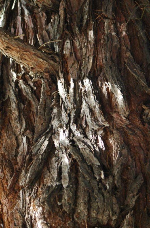 Zypresse Rinde - Baum der Ewigkeit