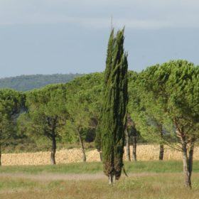 Zypresse - Baum der Ewigkeit